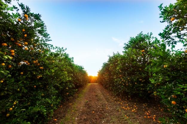 Plantacja drzew pomarańczowych