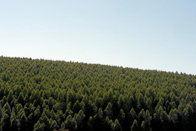 Plantacja eukaliptusa z białą przestrzenią na tekst