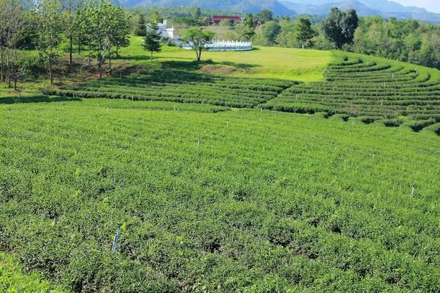 Plantacja herbaty choui fong i błękitne niebo. chiangrai, tajlandia.