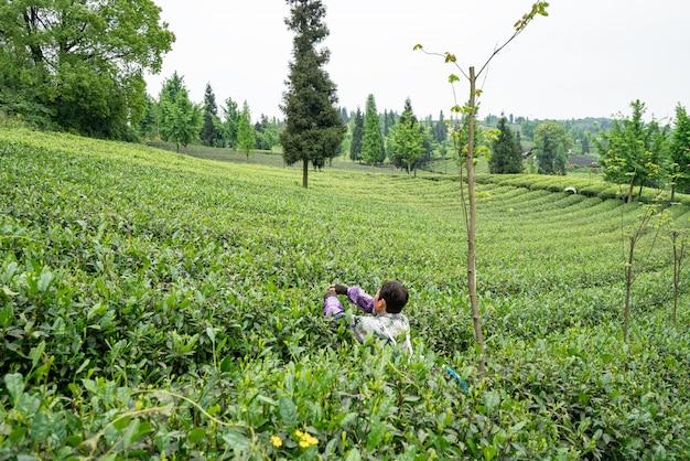 Plantacja herbaty na szczycie góry