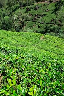 Plantacja herbaty . tło natura