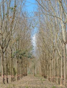 Plantacja kauczuku w rocznym opadaniu liści jesienią