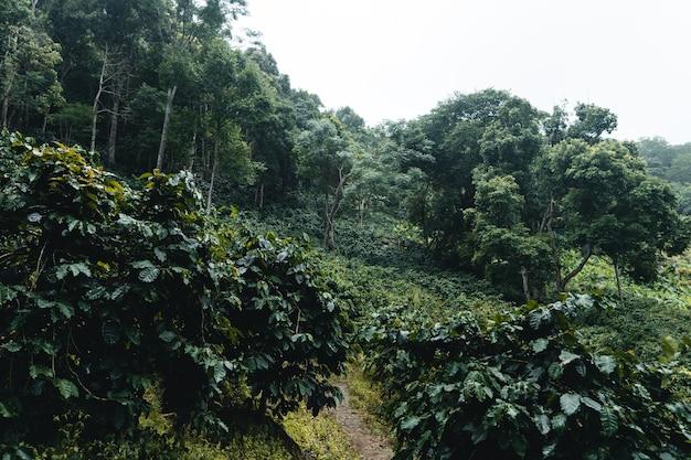 Plantacja kawy w tropikalnym lesie w porze deszczowej