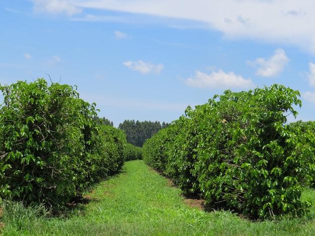 Plantacja kawy z niebieskim niebem