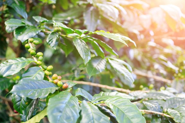 Plantacja kawy