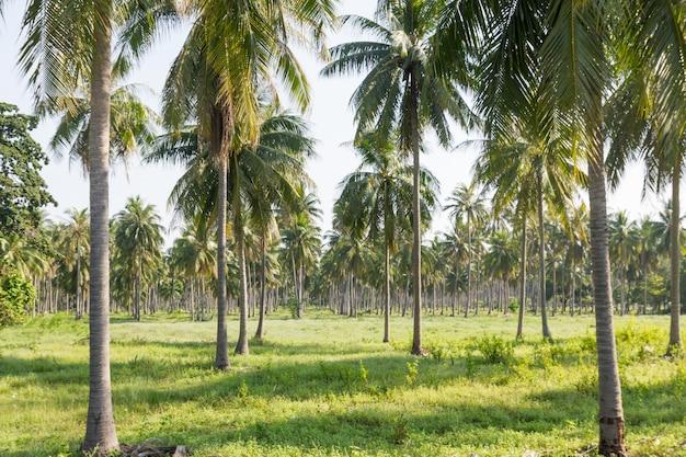 Plantacja kokosów