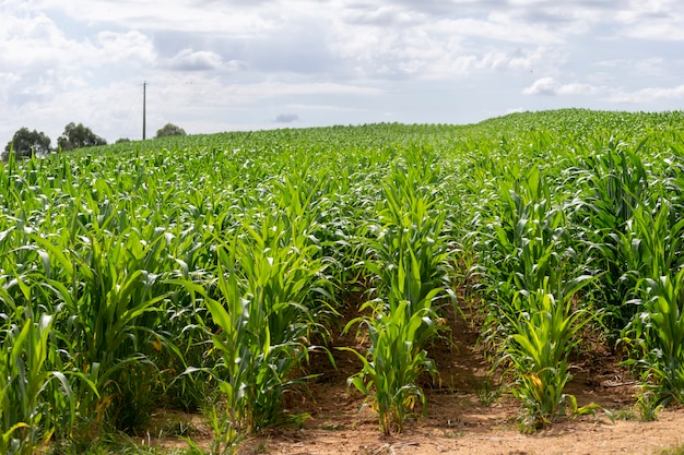 Plantacja kukurydzy. koncepcja rolnictwa na eksport