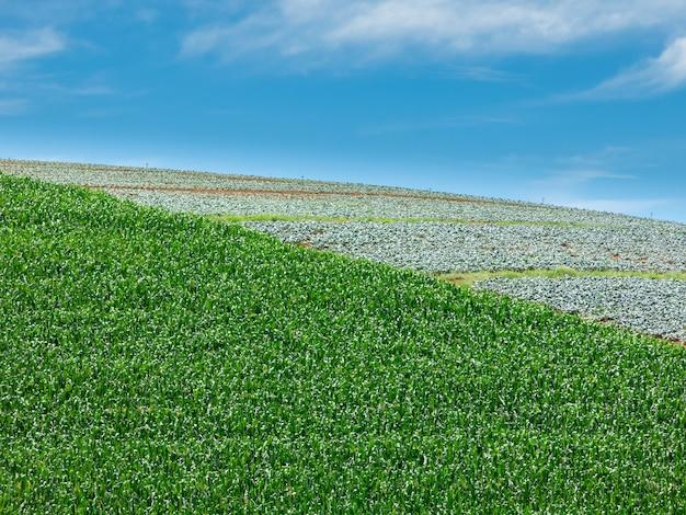 Plantacja kukurydzy w brazylii