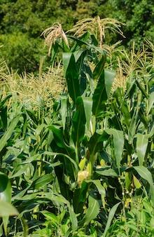 Plantacja kukurydzy w pedra lavrada, paraiba, brazylia, 14 stycznia 2005 r.