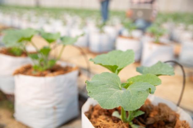 Plantacja melonów