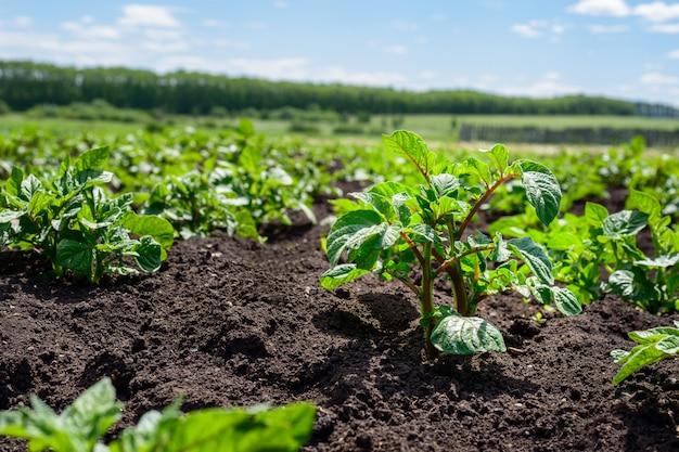 Plantacja młodych kiełków ziemniaka na polu z czarną glebą