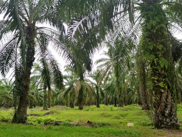 Plantacja oleju palmowego