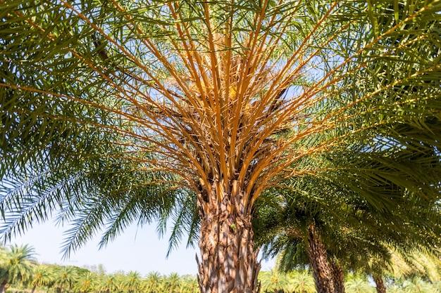 Plantacja palm daktylowych z czystym niebem.