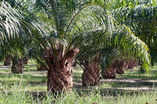 Plantacja palmy olejowej