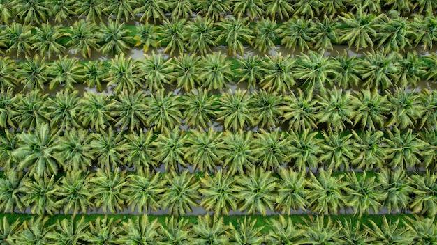 Plantacja pól kokosowych w kolorze zielonym z rzędu i zdjęcie z góry z lotu ptaka z drona