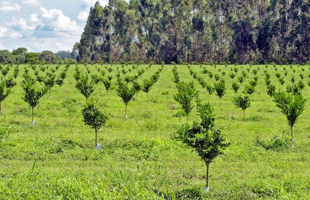 Plantacja pomarańczy z młodymi drzewami