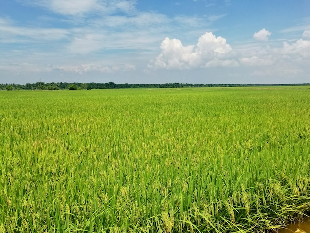 Plantacja ryżu.