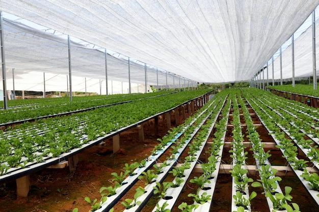 Plantacja sałatki rakietowej w systemie hydroponicznym