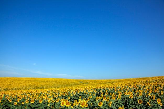 Plantacja słoneczników z dnia błękitne niebo