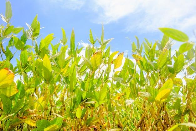 Plantacja soi w brazylii. soja z strąkami