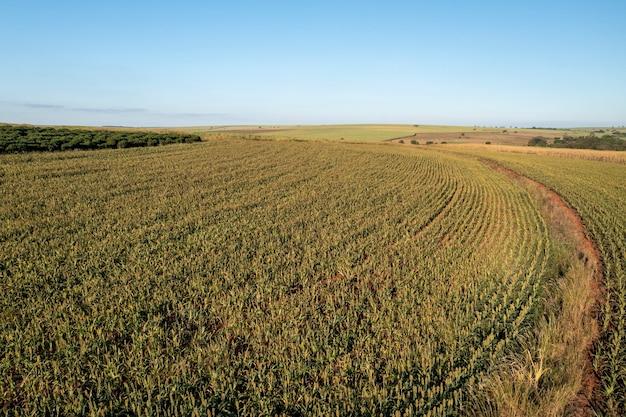 Plantacja sorgo w słoneczny dzień w brazylii - widok z drona.