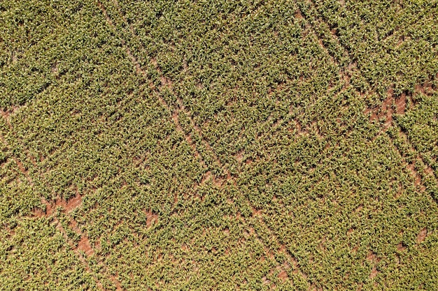 Plantacja sorgo widziana z góry - widok z drona.