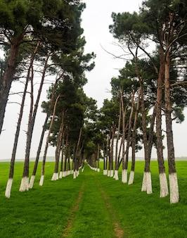 Plantacja sosny na zielonym polu, ochrona przed wiatrem, polna droga między drzewami na polu rolniczym