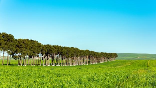 Plantacja sosny w zielonym polu, ochrona przed wiatrem