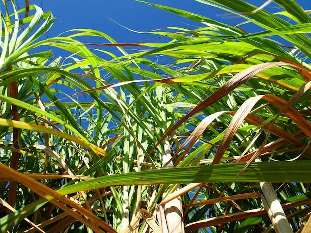 Plantacja trzciny cukrowej na kubie