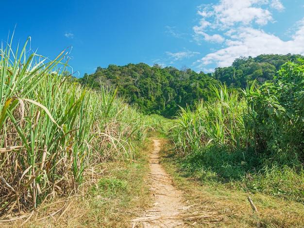 Plantacja trzciny cukrowej. rolnictwo w muang long, laos północny. przemysłowe pola uprawne w krajach rozwijających się.