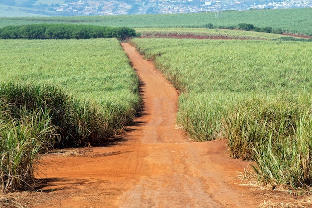 Plantacja trzciny cukrowej w brazylii