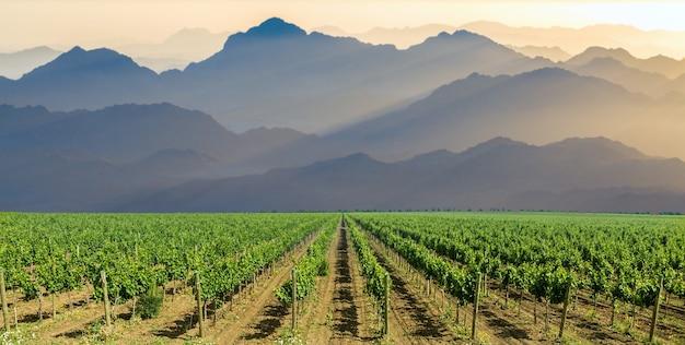 Plantacja winnic latem. zielone winorośle uformowane przez krzewy.