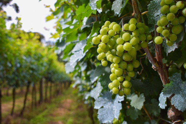 Plantacja winogron z kiściami owoców