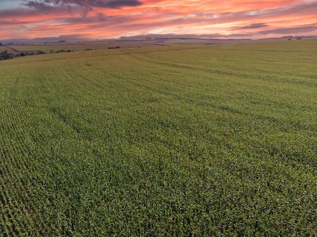 Plantacja zielonej kukurydzy na polu kukurydzy w letnim sezonie rolniczym
