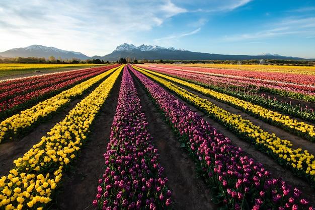 Plantacja żółtych, fioletowych i czerwonych tulipanów w patagonii.