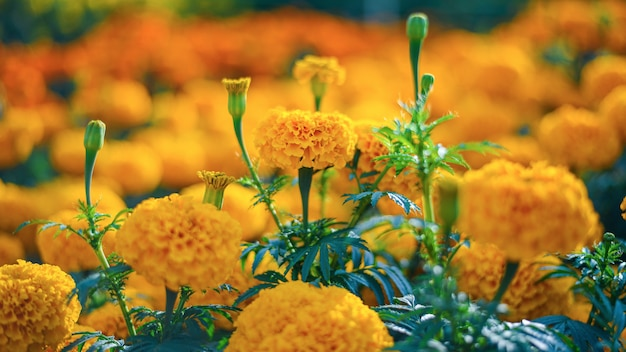 Plantacja żółtych kwiatów nagietka na farmie kwiatowej
