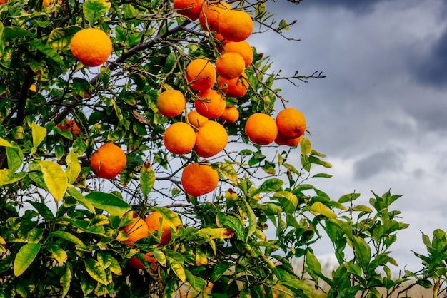 Plantacje drzew pomarańczowych