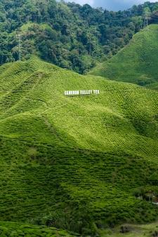 Plantacje herbaty cameron valley. zielone wzgórza w górach malezji. produkcja herbaty. zielone krzewy młodej herbaty.