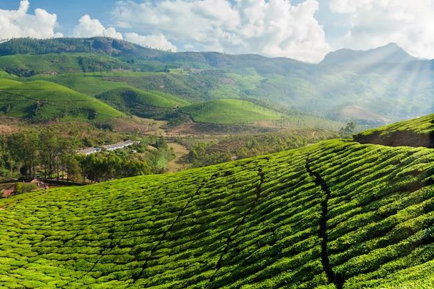 Plantacje herbaty w indiach