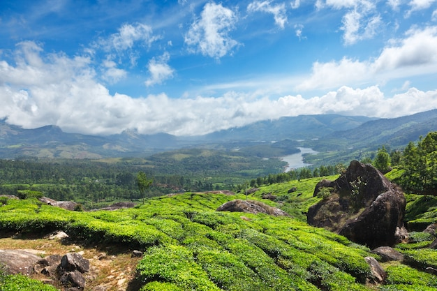 Plantacje herbaty