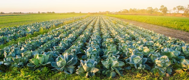 Plantacje kapusty w świetle zachodzącego słońca. uprawa organicznych warzyw. produkty ekologiczne
