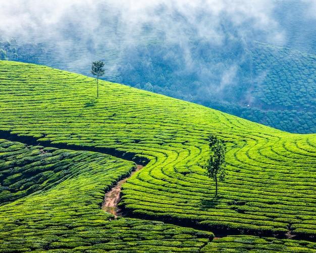 Plantacje zielonej herbaty w munnar, kerala, indie