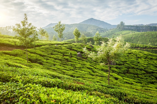 Plantacje zielonej herbaty w munnar o wschodzie słońca, kerala, indie