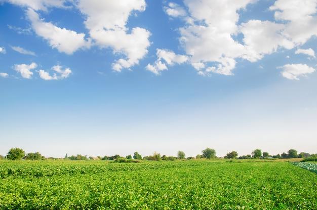 Plantacje ziemniaka rosną na polu. rzędy warzywne. krajobraz z gruntami rolnymi.