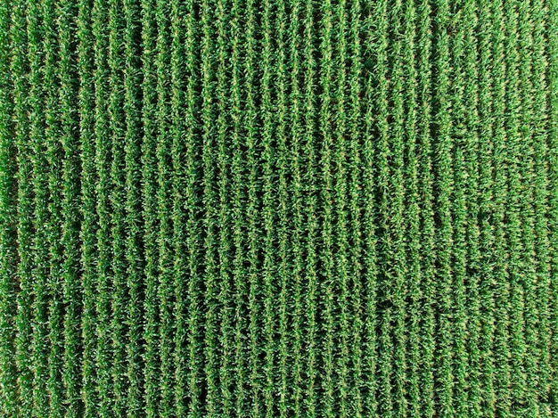 Plantacji kukurydzy zielonej kukurydzy w letnim sezonie rolniczym. .