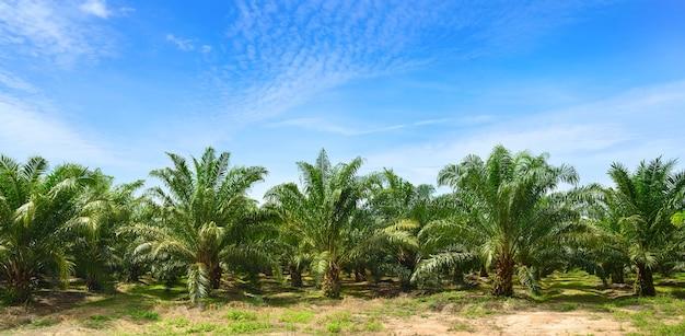 Plantacji oleju palmowego rośnie na tle błękitnego nieba.