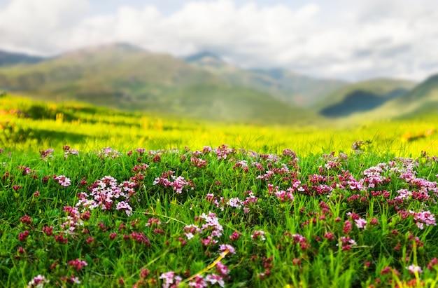 Plantuj na łące alpejskiej w pirenejach