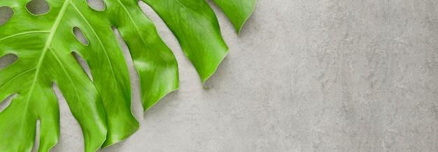 Płaski układ liści rośliny monstera z miejsca na kopię