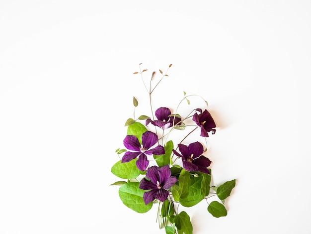 Płaskie świeckich skład purpurowe kwiaty powojników i liści na białym tle. widok z góry.