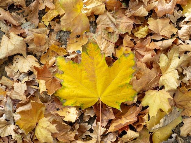 Płasko leżący jasnożółty liść klonu na opadłych suchych liściach jesienią